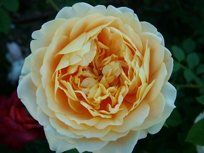 David Austin shrub rose, 'Golden Celebration'