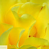 Yellow rose petals - 7