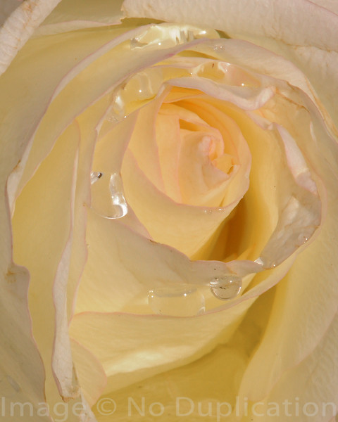 Rosteet Rose 2009<br /> (4x5)