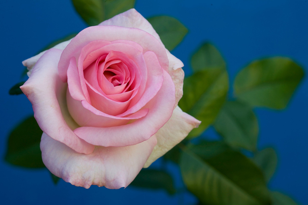 People's Princess, an abundantly flowering pink rose with a delicate fragrance.