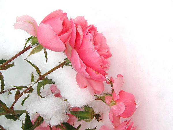 Roses after an early season snowstorm.