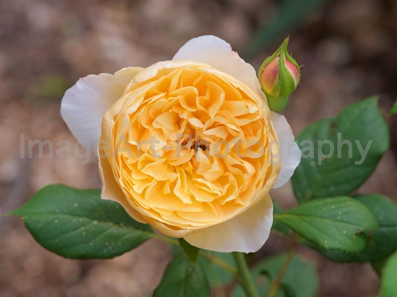 Roald Dahl, an English Rose by David Austin