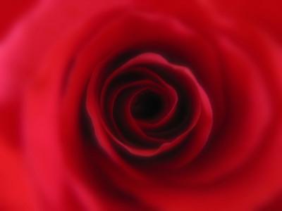 Red rose  flowering shrub of the genus Rosa