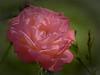 Last Rose of Summer 2017