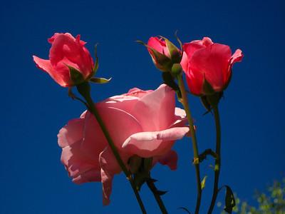 Roses burst into the morning light