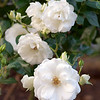 Iceberg, an award-winning rose