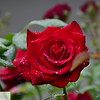 One more red rose and raindrops - 50