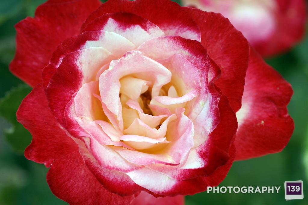 Albia Rose