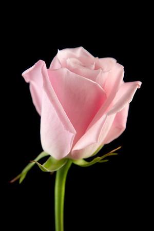 Flower050e (Rose)