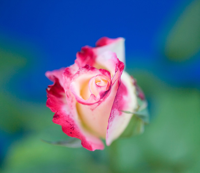 Double delight rose bud