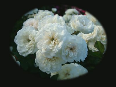 Spray of shrub rose 'Lullaby', with green pip center