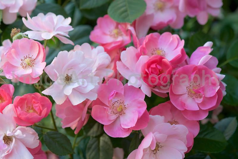 Rose Angela, semi double Floribunda