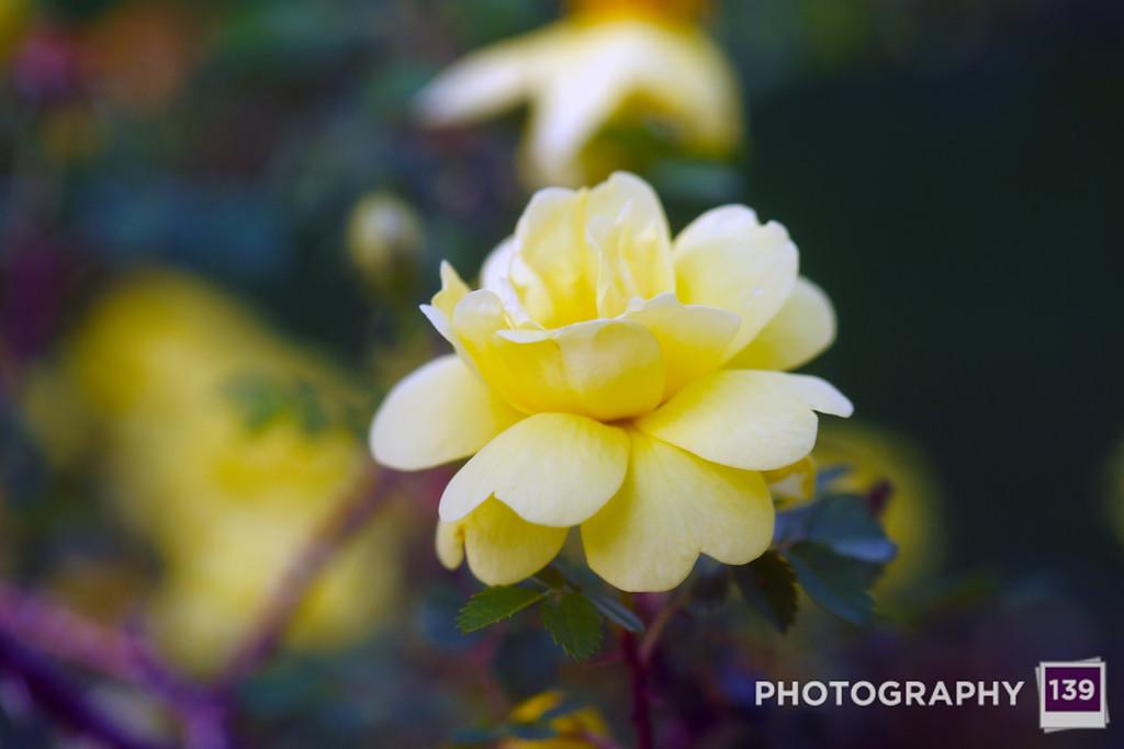 Grandma's Rose Bush