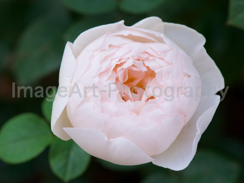 Desdemona, an English Rose by David Austin