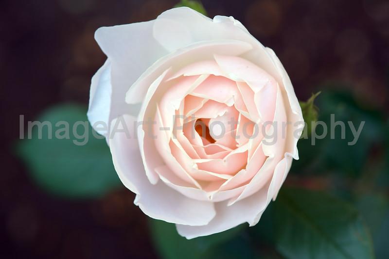Desdemona, an English Rose by David Austin