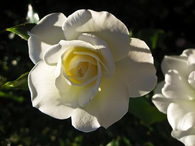 White rose  flowering shrub of the genus Rosa