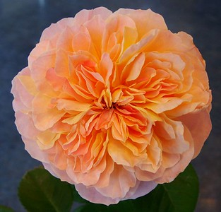 Large flowered climbing rose, 'Impressionist'