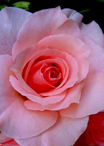 Pink rose  flowering shrub of the genus Rosa