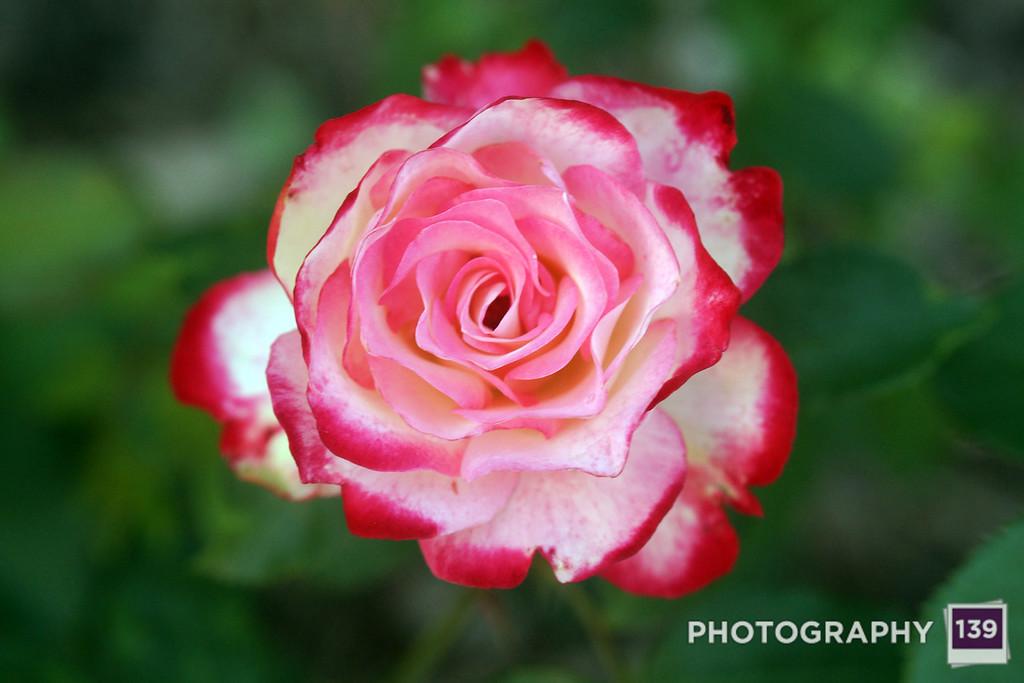 State Center Rose Garden