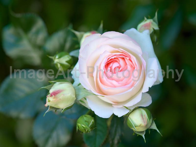 Pierre de Ronsard or Eden Rose
