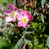 Rosa rubrifolia mechlinae