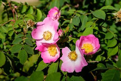 Rosa 'Bourgogne'