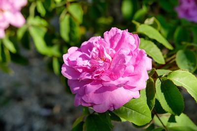 Rosa 'Sophie de Marsilly'