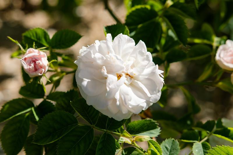 Rosa 'White Rose of York'