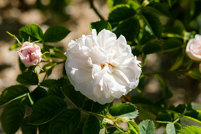Rosa 'White Rose of York'