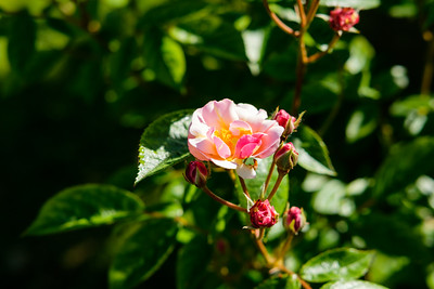 Rosa 'Queen of the Musk'