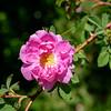 Rosa californica 'pena'