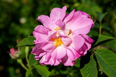 Rosa 'Amelia'