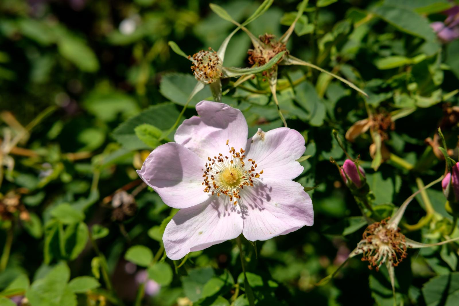Rosa nutkana hispida 'Fernald'