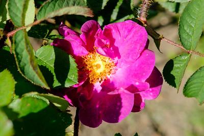 Rosa 'Celina'