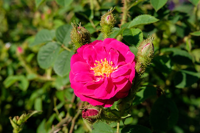 Rosa 'Old Red Mos'