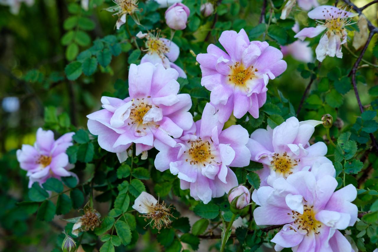 Rosa 'Irish rich marbled'