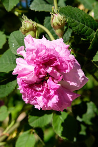 Rosa 'Comte de Nanteuil'