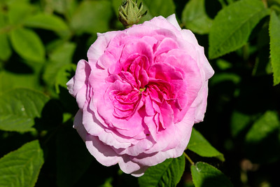 Rosa 'Orement de la nature'