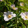 Rosa macounii greeve