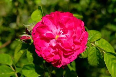 Rosa 'Summerblush'