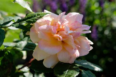 Rosa 'Scholles Gelbe Moosrose'