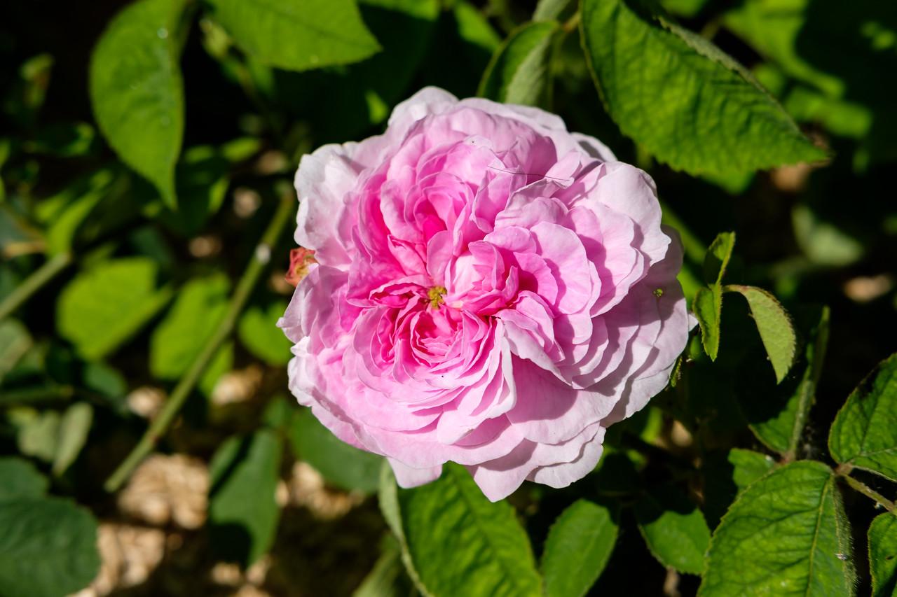Rosa 'Belle de Broses'