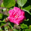 Rosa 'Lafayette'