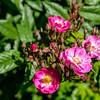 Rosa 'Dentelles de Bruxelles'