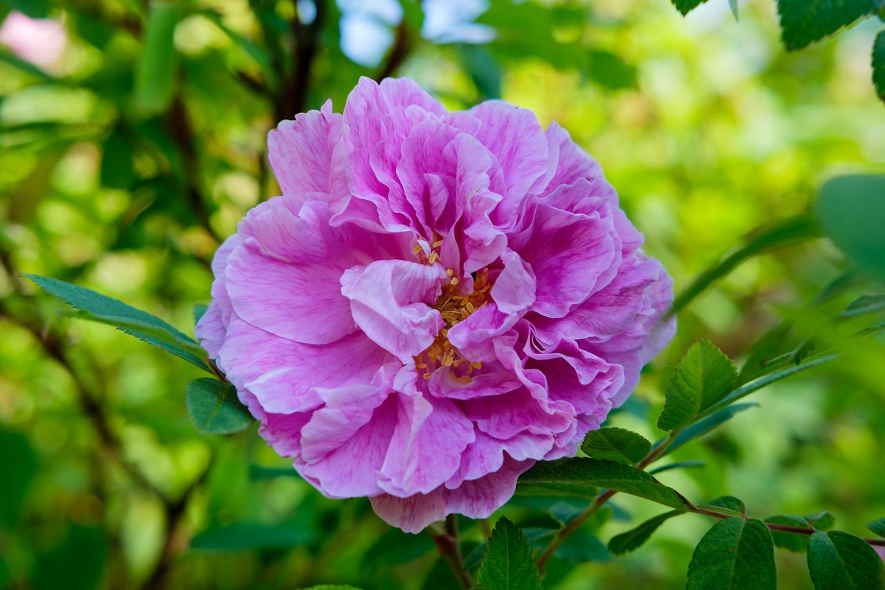 Rosa 'Betty Bland'