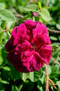 Rosa 'Black Boy'