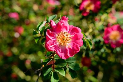 Rosa 'Eos'
