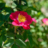 Rosa 'Parkflower'