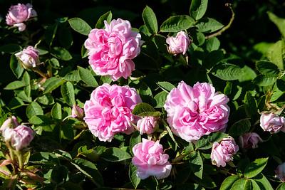 Rosa 'Soupert Et Notting'