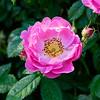 Rosa 'Magnifica'